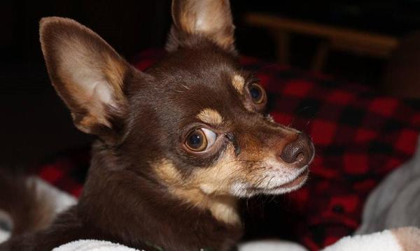 Ruddy my Chihuahua. Feel free to bring your fur-child in for a visit when you come.