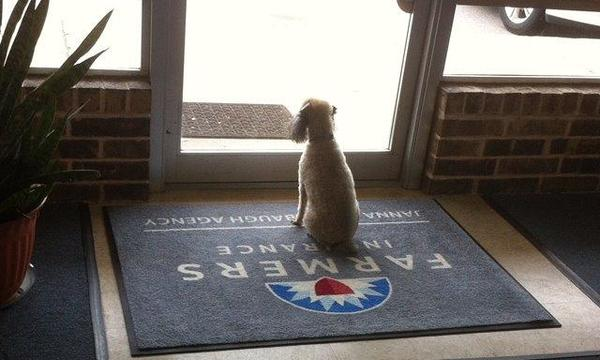 A small white dog sitting on a Farmers Insurance welcome mat, staring out the door.