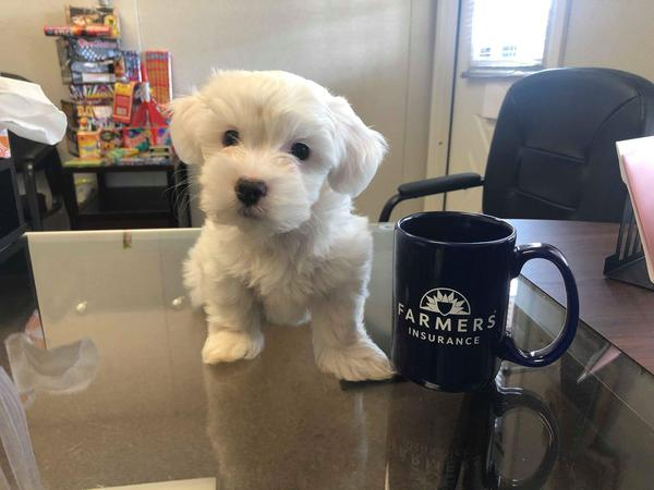 Small white dog on a table next to Farmers mug