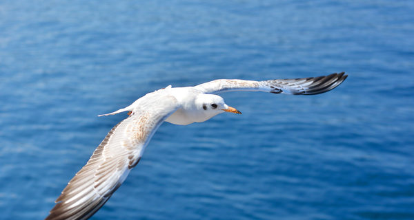 seagull flying over ocean