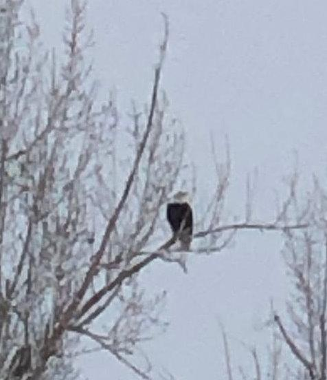 Saw a bald eagle skiing this weekend!
