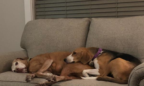 2 large dogs napping on a couch.
