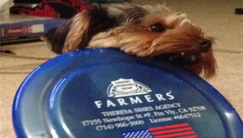 A dog is chewing on a Farmers branded frisbee