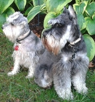 A photo of our 2 Miniature Schnauzers sitting in front of a garden bed of hostas