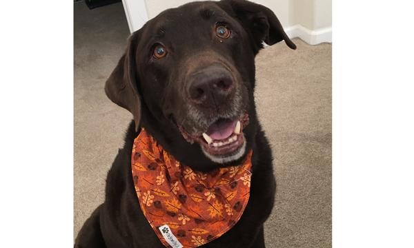 A chocolate lab wearing an orange bandana around its neck