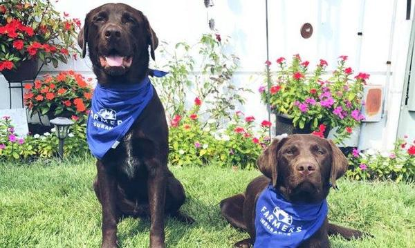 Two dogs wearing Farmers Insurance bandanas