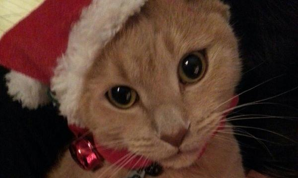 Cat in Santa hat.
