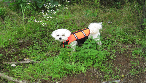 Small white dog in the grass wearing an orange outfit