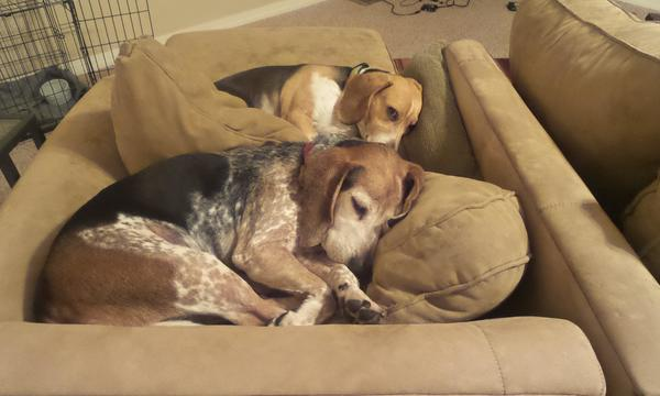 Two dogs curled up on a couch sleeping
